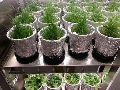 Asbestabfälle können durch landwirtschaftliche Bodenbearbeitung fein verteilt werden. Mittels gezieltem Einsatz von Pflanzen könnte der Abbau des gefährlichen Materials beschleunigt werden. Copyright: Universität Wien