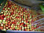 Im Netzwerk Wasser&Technik werden alle Aspekte der Wasser- und Abwasserbehandlung berücksichtigt, etwa bei der Schwemmsortierung von Äpfeln im Alten Land. Foto: ttz Bremerhaven/ Birte Ostwald.