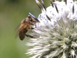 Bienen in Gefahr Bild:  Mellifera e.V. Lehr- und Versuchsimkerei Fischermühle